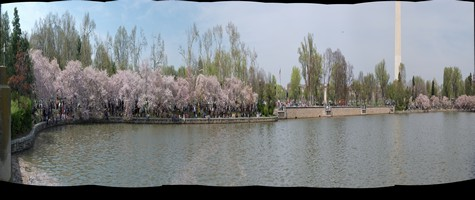 Wide panorama picture of cherry blossoms looking north from Kutz Bridge.